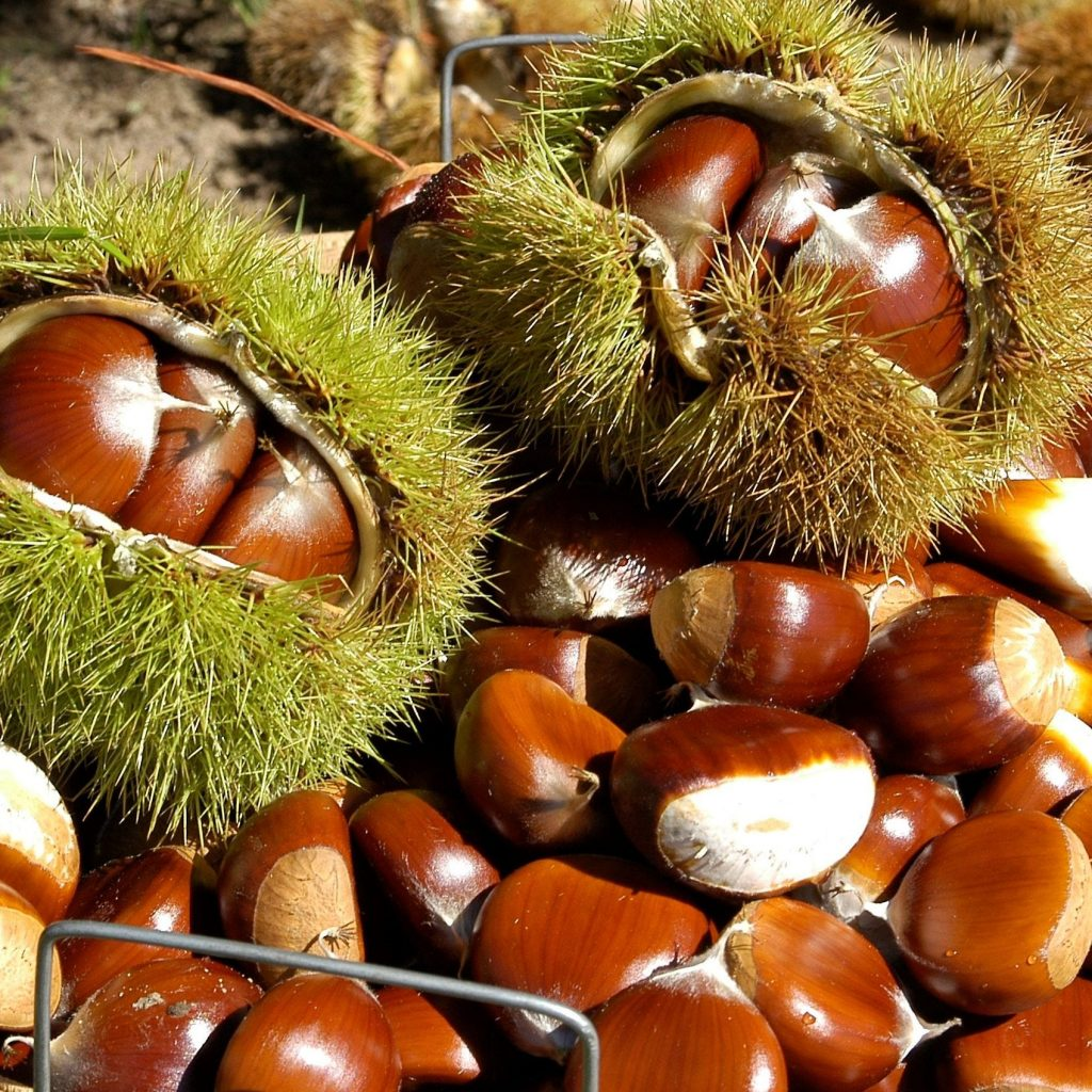 636173260035361510-basket-of-chestnuts